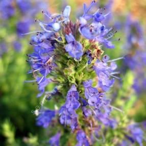 Hyssopus officinalis subsp. aristatus, Hysope naine