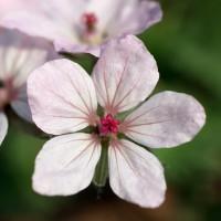 Erodium absinthioides - Bec de grue