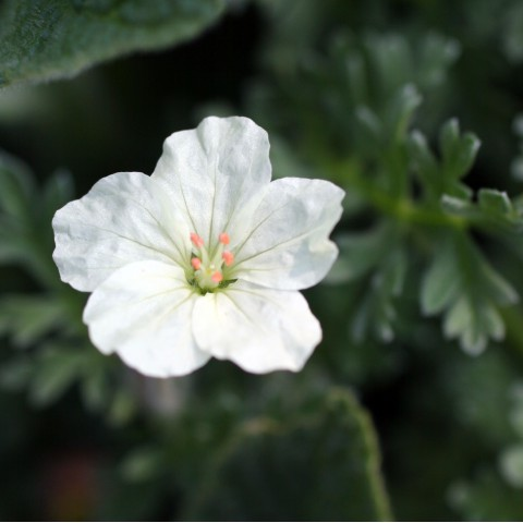 Erodium chrysanthum - Bec de grue