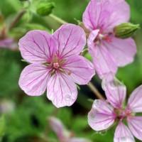Erodium 'County Park' - Bec de grue