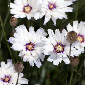 Catananche caerulea 'Alba' - Cupidone à fleur blanche