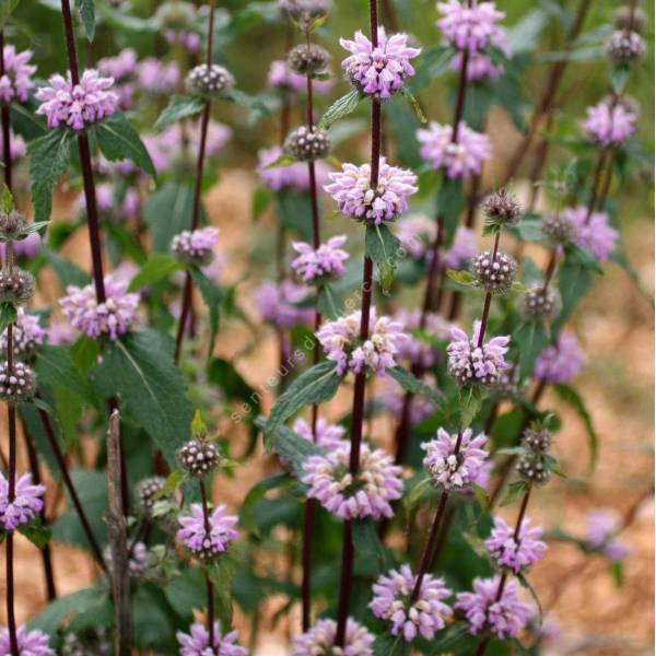 Sauge de j rusalem tub reuse phlomis tuberosa plante vivace - Planter de la sauge ...