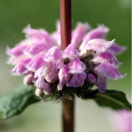 Phlomis tuberosa - Sauge de Jérusalem tubéreux