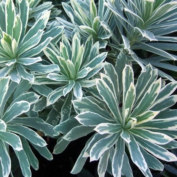 Euphorbia characias 'Silver Edge' - Euphorbe panachée
