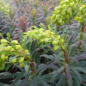 Euphorbia characias subsp. wulfenii 'Purple and Gold' - Euphorbe