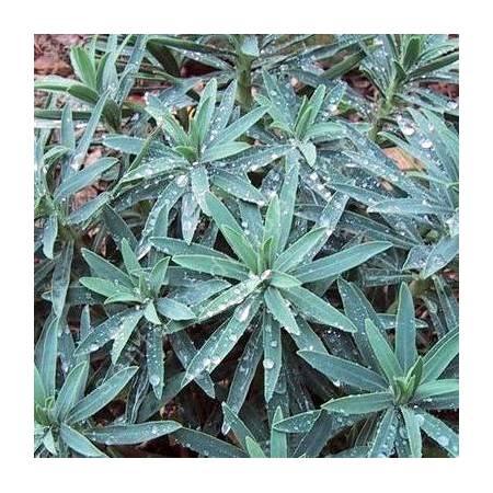 Euphorbia characias 'Blue Wonder', Euphorbe