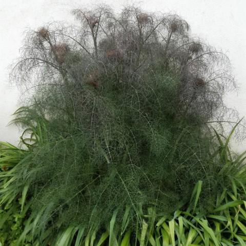 https://www.senteursduquercy.com/3870-thickbox/foeniculum-vulgare-purpureum-fenouil-bronze.jpg