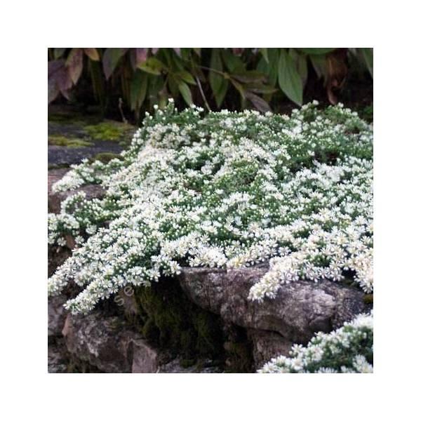 Aster ericoides f. prostratus - Aster prostré