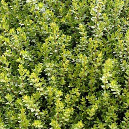 Myrtus communis subsp. tarentina, Myrte de Tarente