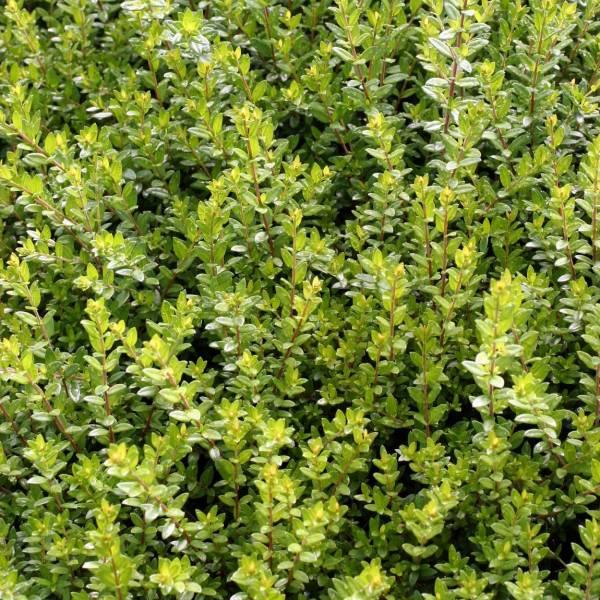 Myrte myrtus communis subsp tarentina aromatique pour for Myrte arbuste