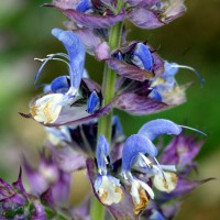 Salvia sclarea - Sauge sclarée