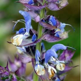 fleur de Salvia sclarea - Sauge sclarée