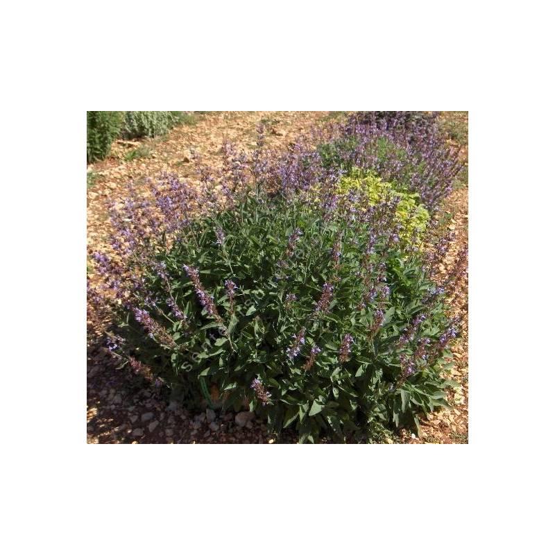 Salvia officinalis 'Wurzburg' - Sauge officinale géante