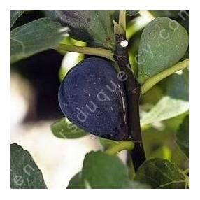 Figuier 'Noire de Caromb' - Ficus carica noir