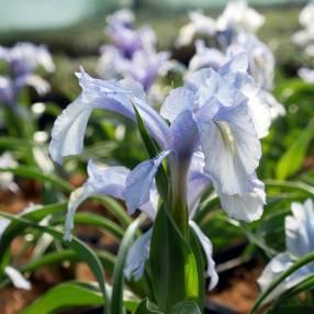 Iris aucheri
