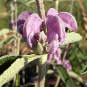 Phlomis purpurea - Sauge de Jérusalem pourpre