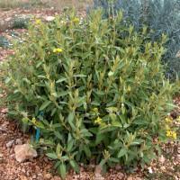 Phlomis lycia - Sauge de Jérusalem de Lycie
