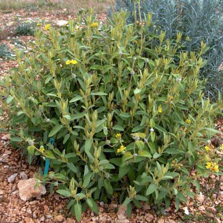 Phlomis lycia - Sauges de Jérusalem de Lycie