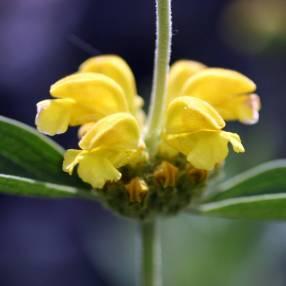Phlomis monocephala - Sauge de Jérusalem