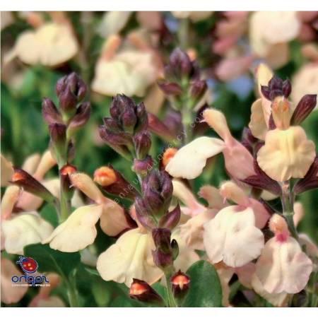 Salvia x jamensis 'Melen' - Sauge arbustive jaune