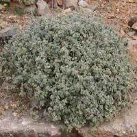 Ballota pseudodictamnus 'Nana' - Ballote faux dictamne naine