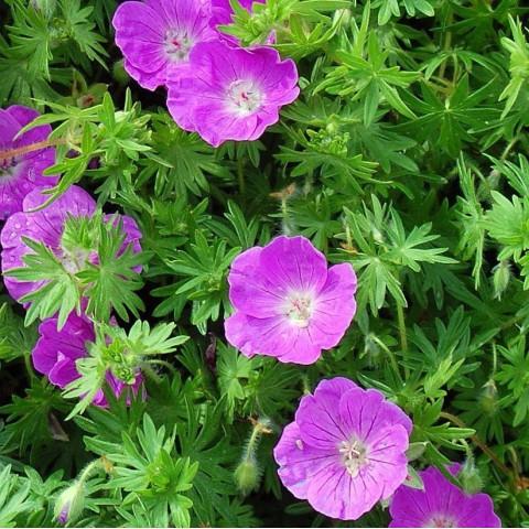 Geranium sanguineum 'Elsbeth' - Géranium sanguin
