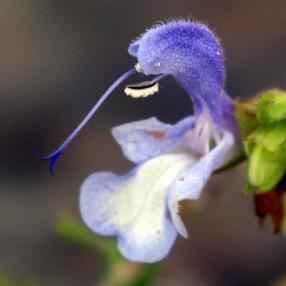 Salvia chameleaegnea