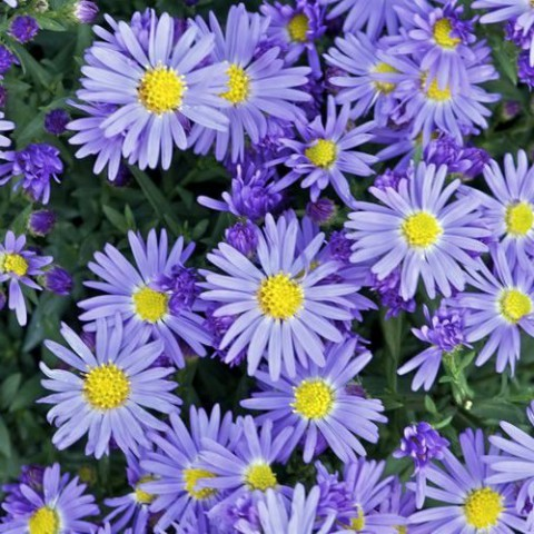 Aster dumosus 'Lady in Blue' -  Aster nain bleu