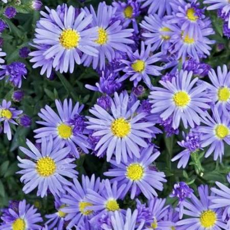 Aster dumosus 'Lady in Blue', Aster nain bleu