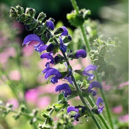 Salvia pratensis 'Twilight Serenade', Sauge des prés bleu foncé