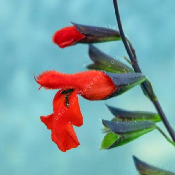 Sauge à feuilles ciliées - Salvia blepharophylla