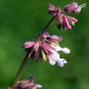 fleur de Salvia napifolia - Sauge verticillée