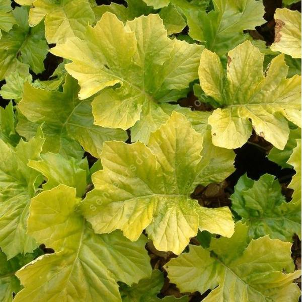 Acanthe dor e acanthus mollis 39 hollards gold 39 vivace for Prix plantes vivaces