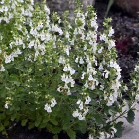 Teucrium chamaedrys 'Flocon de Neige', Germandrée petit-chêne blanche