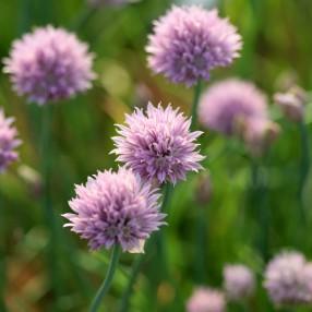Allium schoenoprasum, Ciboulette