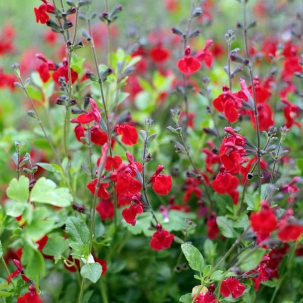 touffe de Sauge arbustive rouge foncée 'Rêve Rouge'