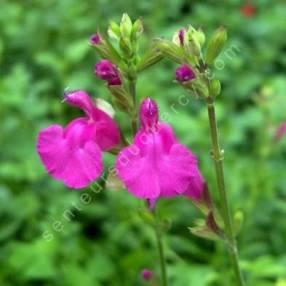 Sauge arbustive rose - Salvia 'Trewithen'