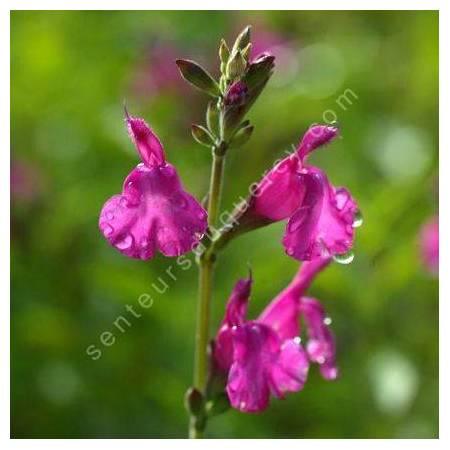 Tige de Salvia 'Trewithen' - Sauge arbustive rose