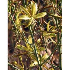 Asphodeline brevicaulis, Asphodèle à tiges courtes