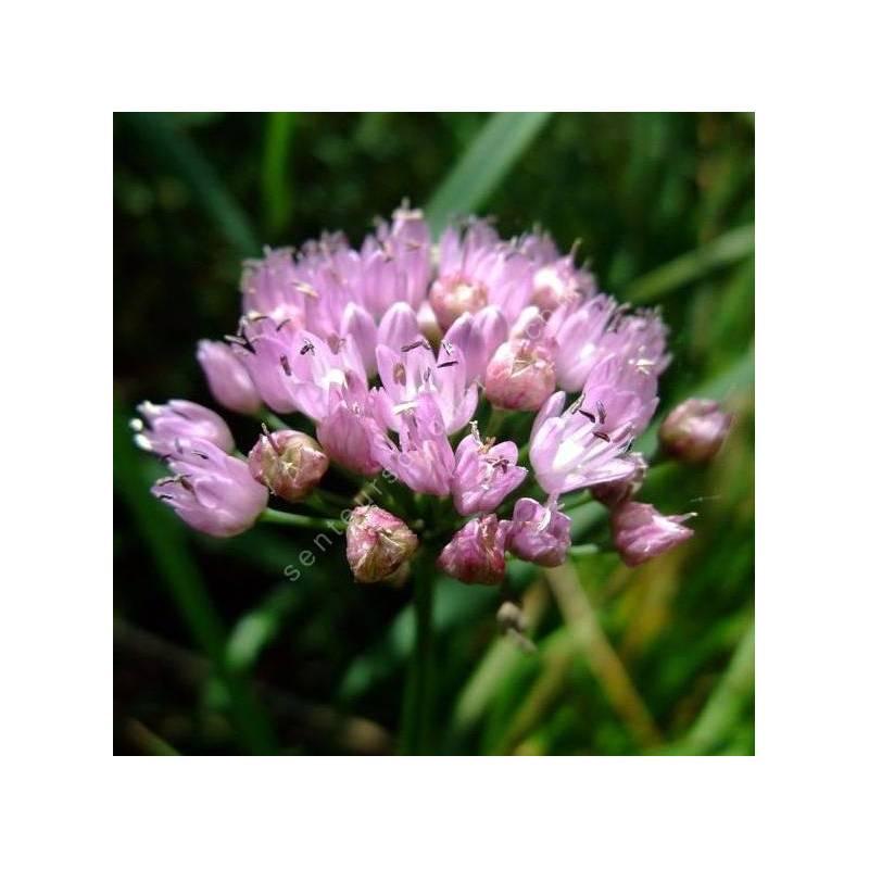 Allium angulosum - Ail à tiges anguleuses