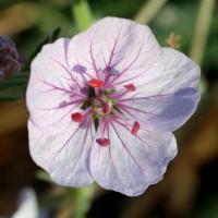 Erodium celtibericum 'Penagolosa' - Bec de grue