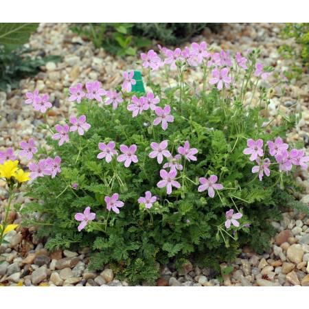 Erodium 'Carmel' - Bec de grue