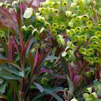 Euphorbia x martinii - Euphorbe de Martin