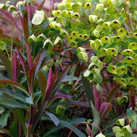 Euphorbia x martinii, Euphorbe de Martin