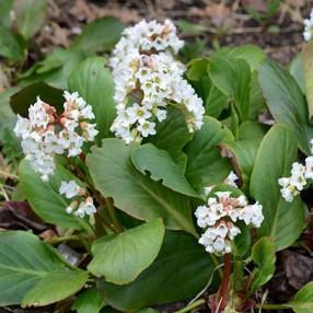 Bergenia 'Bressingham White', Bergénie à fleurs blanches