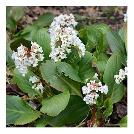Bergenia cordifolia 'Bressingham White', Bergénie à fleurs blanches