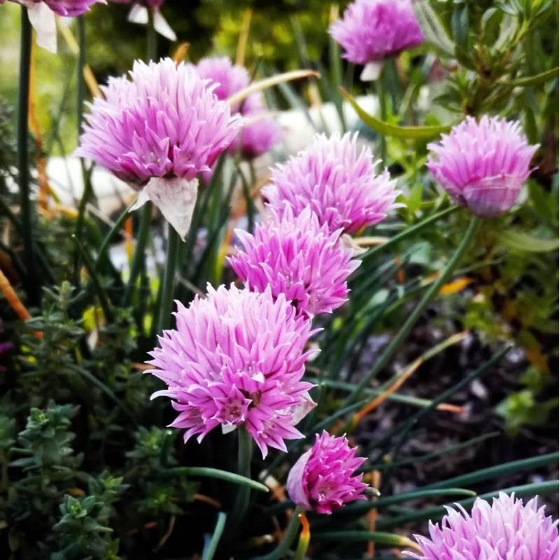 Allium schoenoprasum 'Rising Star', Ciboulette rose vif