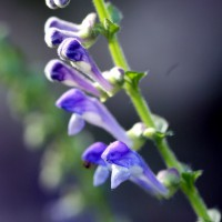 Scutellaria altissima - Scutellaire haute