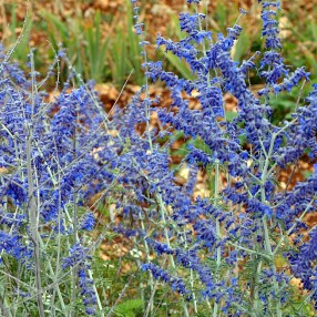 Perovskia atriplicifolia 'Lacey Blue' - Lavande d'Afghanistan compacte