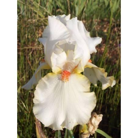 Iris 'Old Flame'